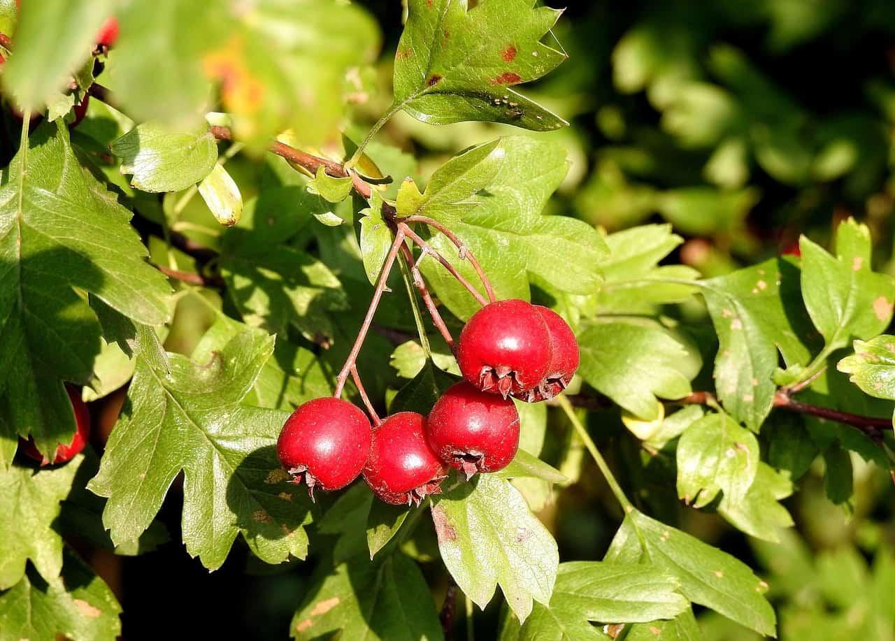 berries sunlight leaves