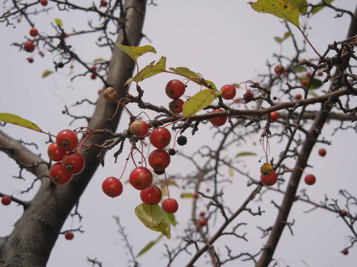 hawthorn berries branches
