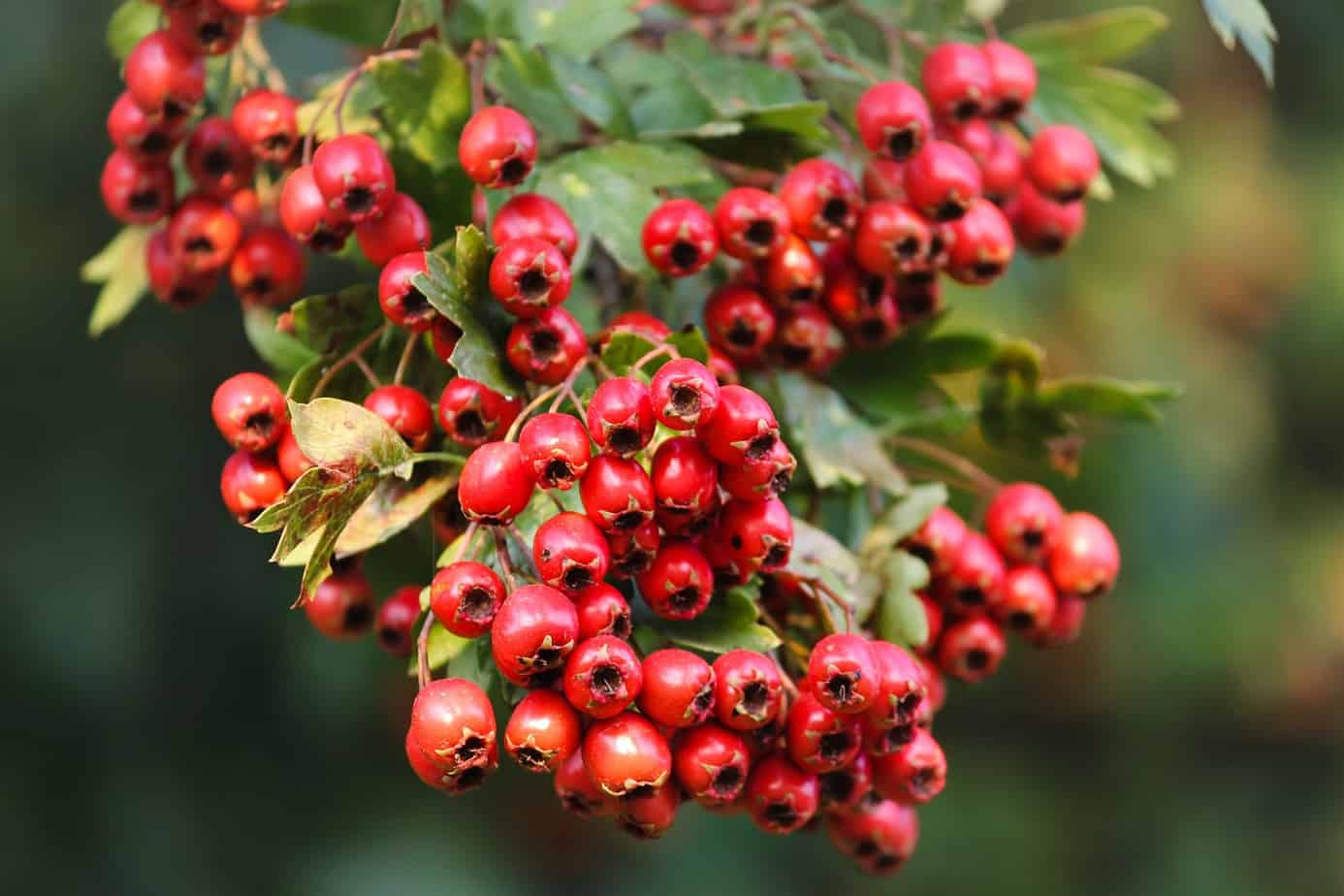 hawthorn berries tree